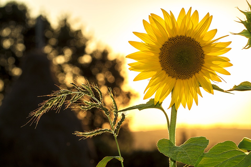 Sunflower 1127174 960 720