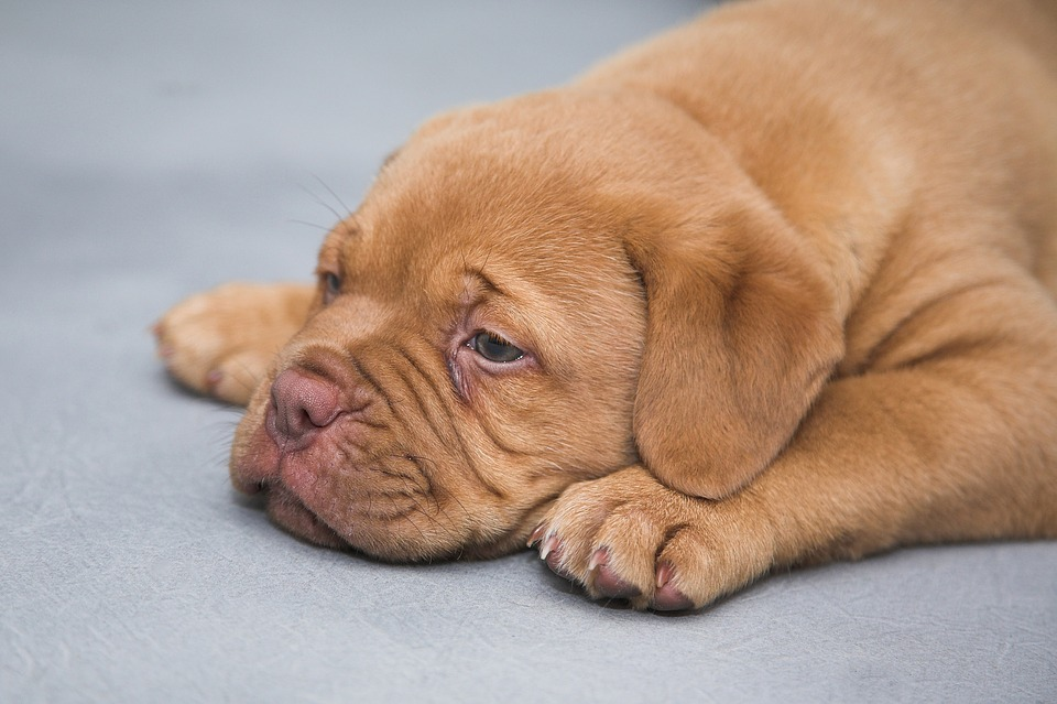 Dogue de bordeaux 1047522 960 720