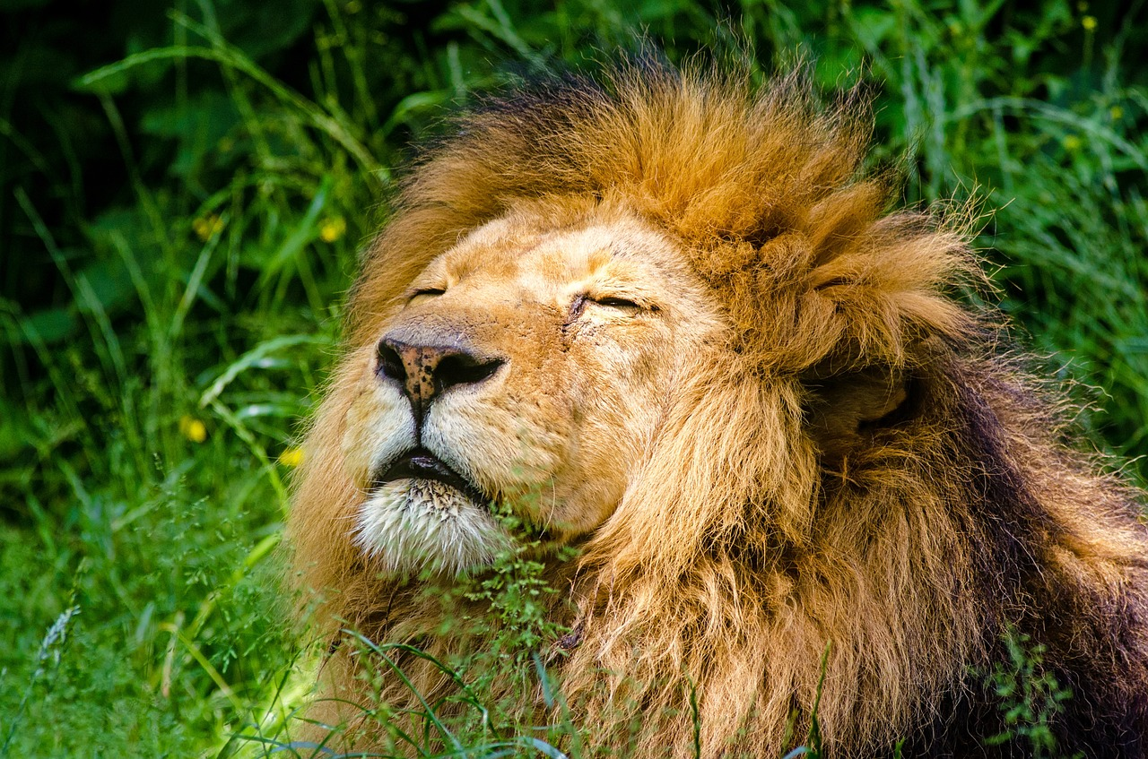 African lion 951778 1280