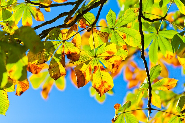 Horse chestnut tree 275921 640