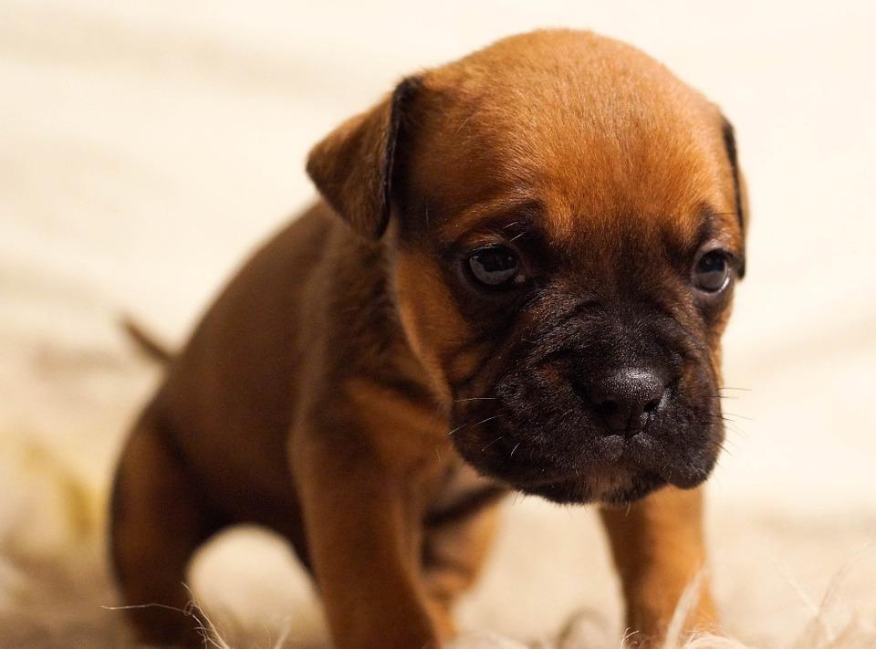 Puppy 384647 960 720